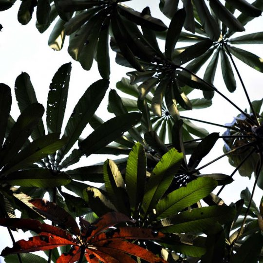Vegetação Amazônica - Adriano Gambarini