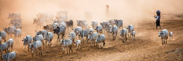 Cows and Shepherds With Dust in Bagan - Andreas Kunz