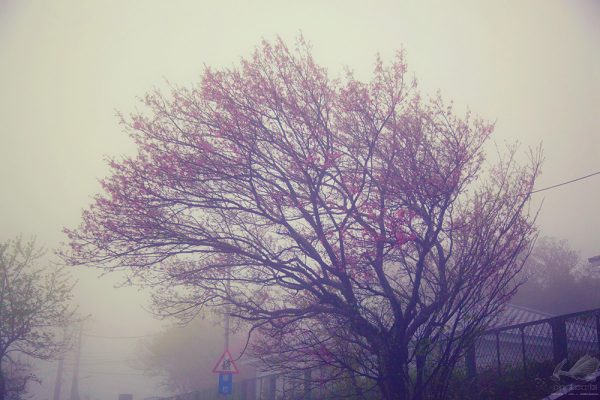 Cherry Blosson on the Fog - Hanson Mao