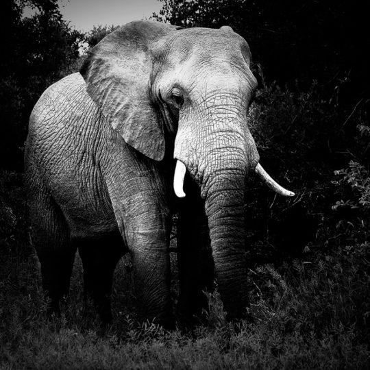 Elephant - João Bolan