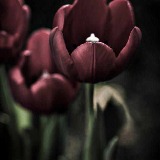 Tulipa II - Egon Jais
