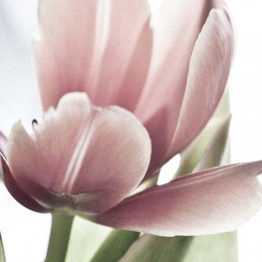 Tulipa para Karina I - Egon Jais